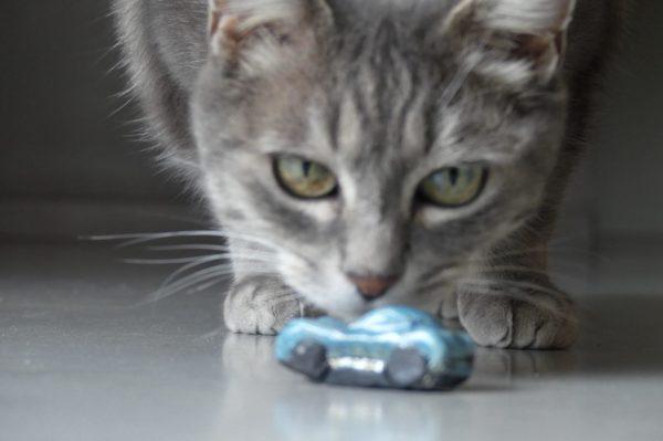 voiture bleu raku avec grisette chat